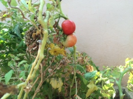 LOCAL CHERRY TOMATOES