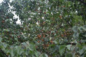 apricots-everywhere