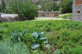 cabbages-herbs-plants