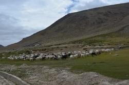 flock-of-sheep