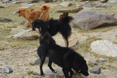 mountain-dogs