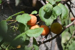 sunshine-and-apricots