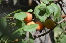 sunshine-and-apricots