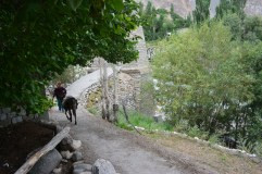 turtuk-woman-and-her-donkey-moving-along