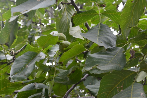 walnut-tree