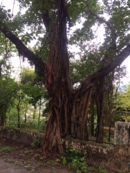 THAT BANYAN TREE