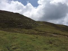 WANDERING SHEEP