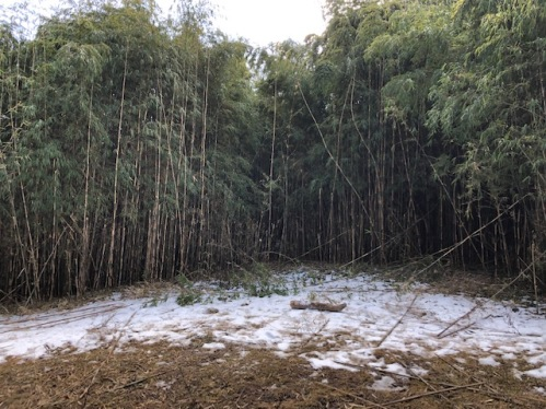 SNOW AND BAMBOOS